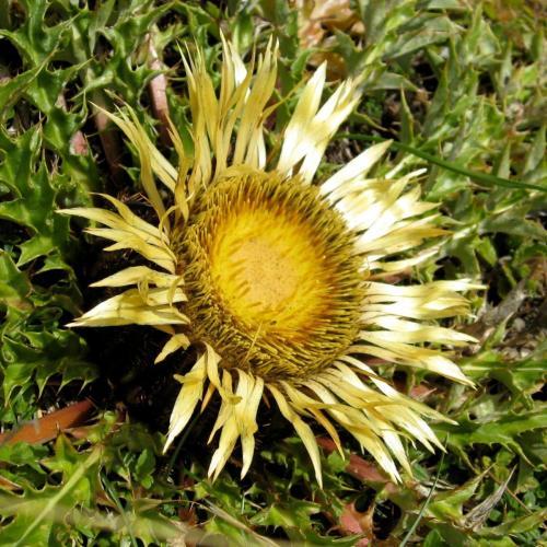 Acanthus thistle – Carlina acanthifolia – Flora del sol