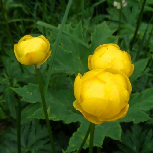 Globe Flower – Trollius europaeus