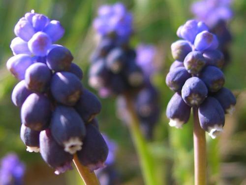 Grape Hyacinth – Muscari Neglectum