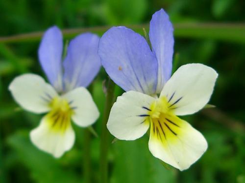 Heartsease – Viola tricolor