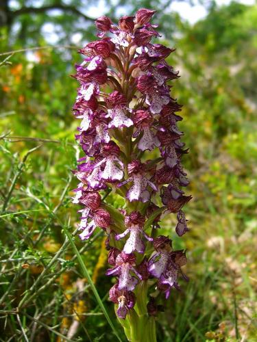 Ladys Orchid – Orchis Purpurea