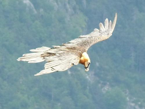 Lammergeier or Bearded Vulture - Gypaetus barbatus
