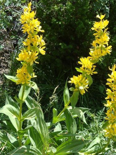 Great Yellow Gentian – Gentiana Lutea