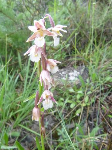 Marsh Helleborine – Epipactis Palustris
