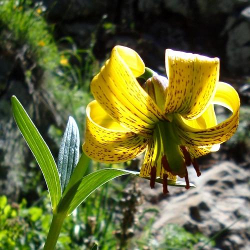 Pyrenean Lily