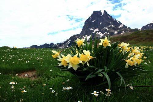 Daffodil with Pic du Midi d'Ossao behind