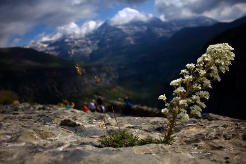 Pyrenees wildflower