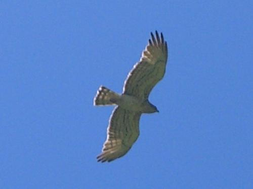 Short Toed Eagle - Circaetus gallicus