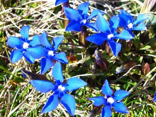 Spring Gentian – (Gentiana verna) Genciana de Primavera