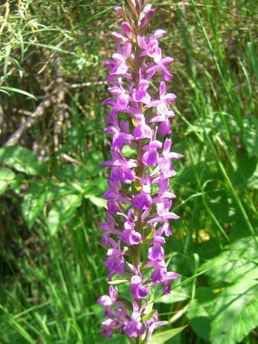 Marsh Orchid – Dactylorhiza Elata