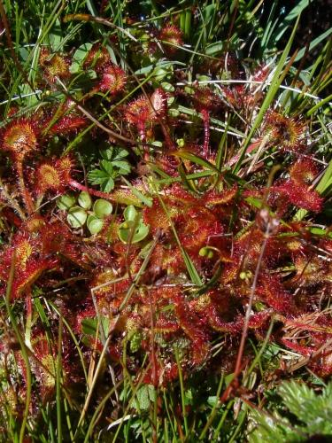 Round leaved sundew – Drosera rotundifolia