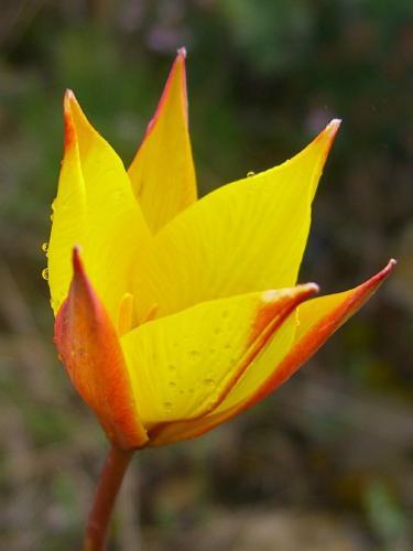 Wild Tulip – Tulipa sylvestris – burillas