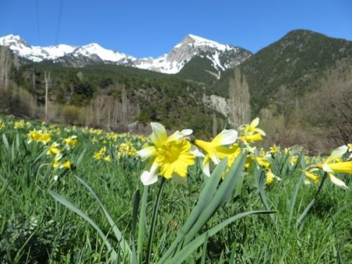 Wild daffodils – narcissus pseudonarcissus