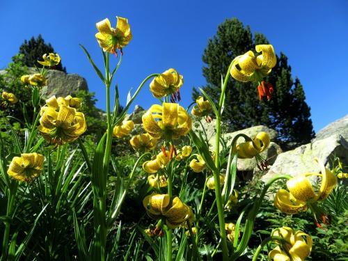 Beautiful Lilys
