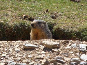Pyrenees marmot
